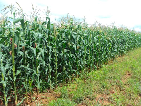 Prefeituta de Igaracy investe na agricultura e homem do campo agradece